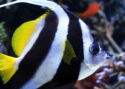 Nothin Poor About The Poor Man S Moorish Idol Reef Builders