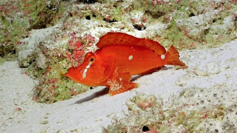 Scientist In Australia Discover New Coral And Spot A Rare Rhinopias In Comprehensive Deep-Sea Study   Reef Builders   The Reef and Saltwater Aquarium Blog