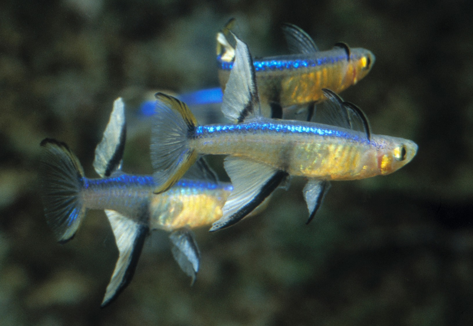 Pseudomugil cyanodorsalis fin flaring