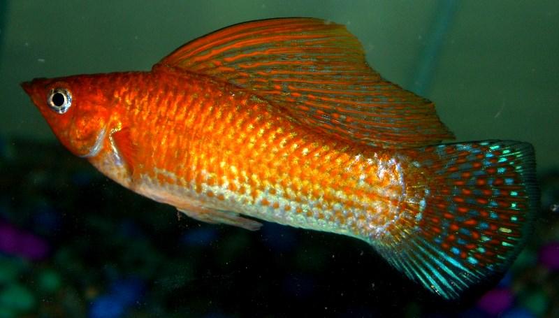 molly-orange-sailfin.jpg