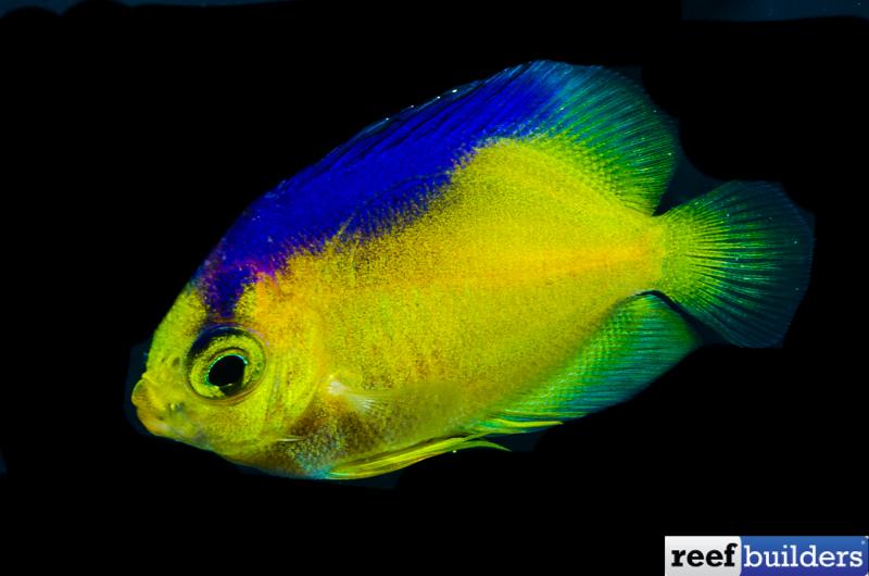 Bali Aquarich Breed Colin S Angelfish Reef Builders The Reef And Saltwater Aquarium Blog