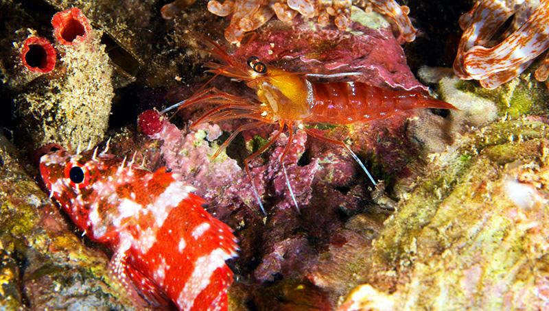 Lysmata-napoleoni-cleaner-shrimp.jpg
