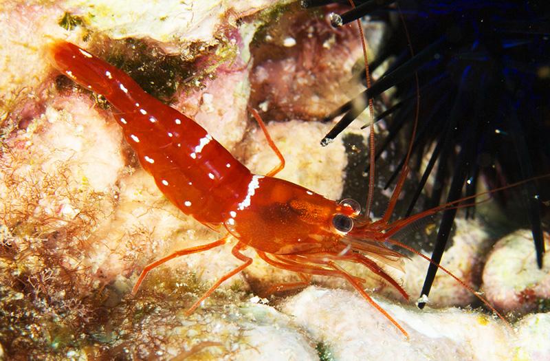 Lysmata-napoleoni-new-cleaner-shrimp.jpg
