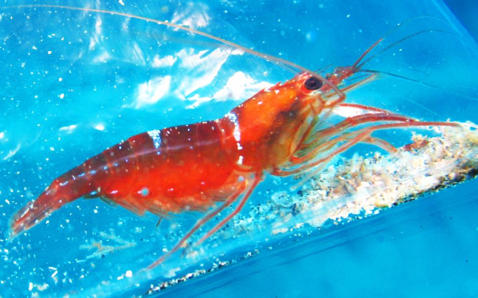Lysmata-napoleoni-shrimp.jpg