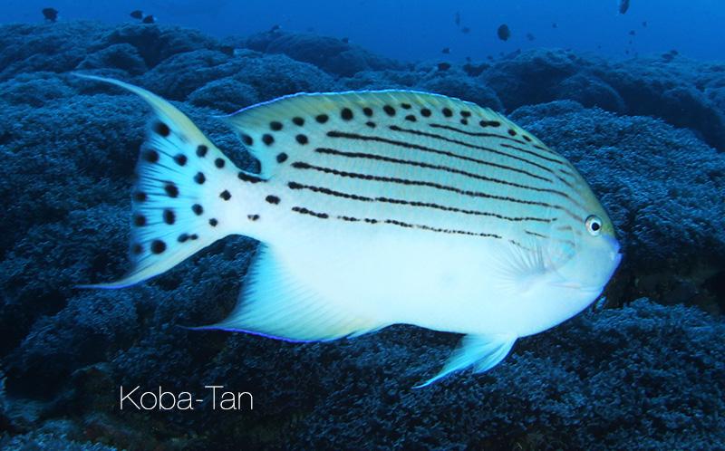 Genicanthus-takeuchii-koba-tan.jpg