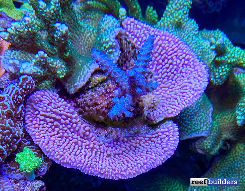 acropora-blue-purple-3.jpg