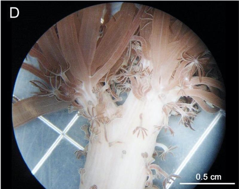 unomia-stolonifera-polyps.jpg