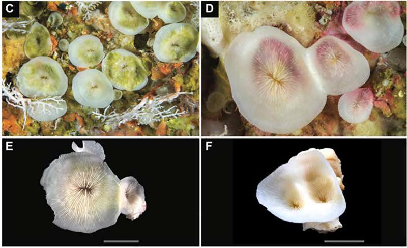 NPS Leptoseris Found in Underwater Caves of the Indian Ocean   Reef Builders   The Reef and Saltwater Aquarium Blog