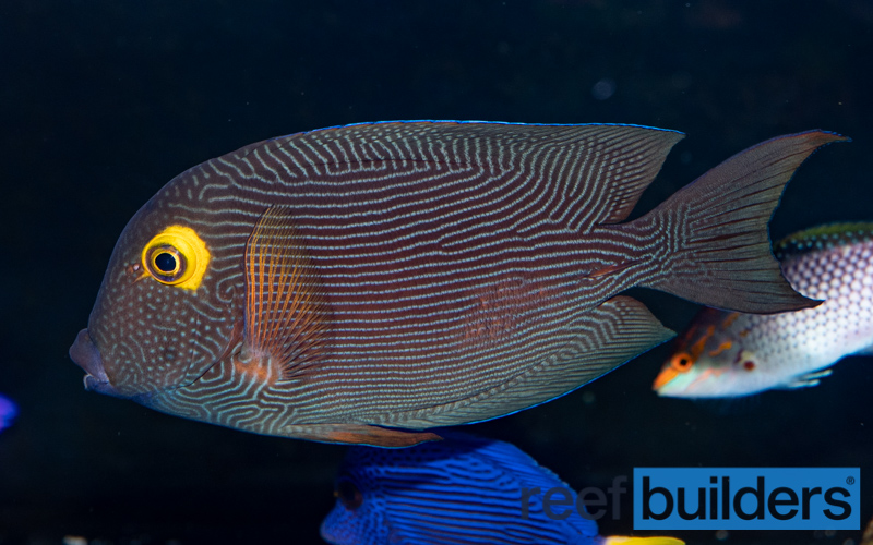 Kole Tang & Squaretail Tang Comparison | Reef Builders | The Reef and Saltwater Aquarium Blog