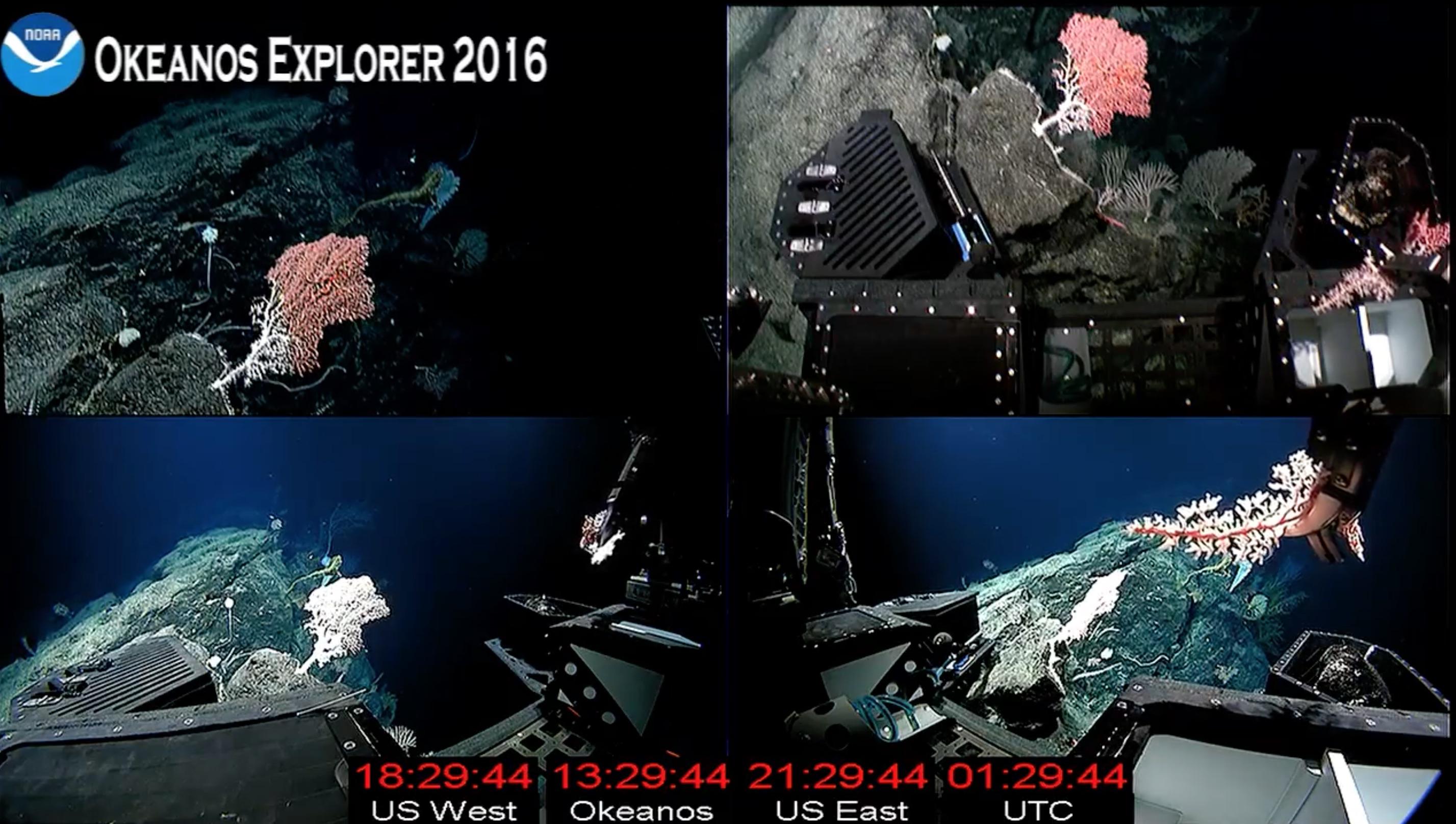 Hemicorallium-Okeanos-Explorer