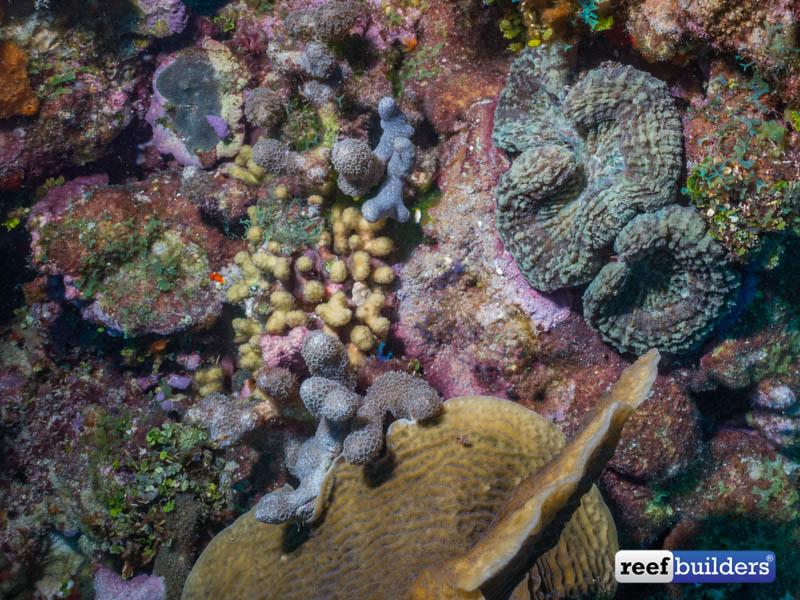 Caribbean-Corals