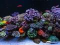dutch-reef-tank-Wesley Vreeswijk-3