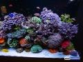 dutch-reef-tank-Wesley Vreeswijk-4