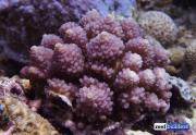 acropora globiceps philippines-1.jpg