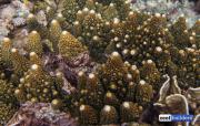 acropora gemmifera-9.jpg