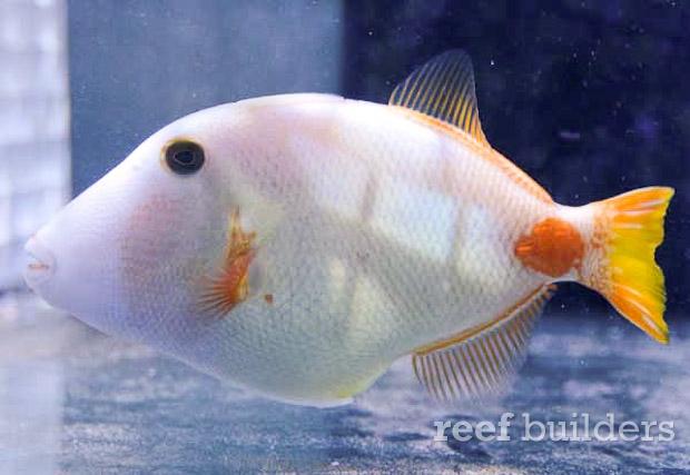 Albino undulated triggerfish :: Reefbuilders
