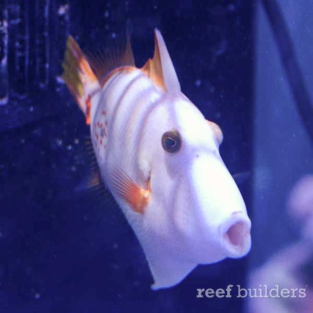 albino undulated triggerfish