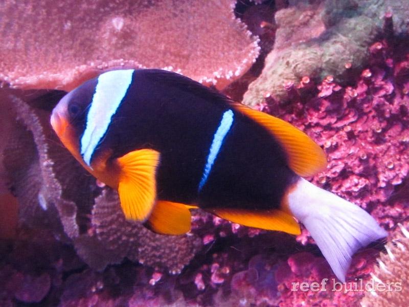 african-allardi-clownfish-2