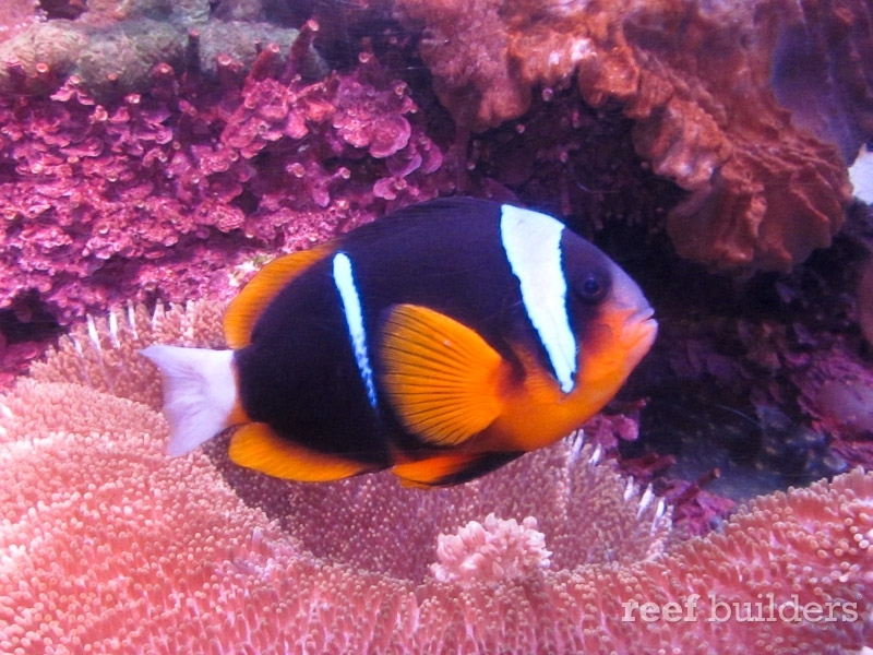 South African Allardi Clownfish make for gorgeous adults