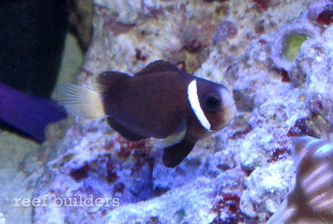 McCullochi clownfish – Dallas World Aquarium |Mccullochi Clownfish