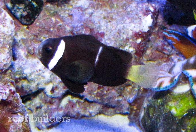 mcculoch clownfish