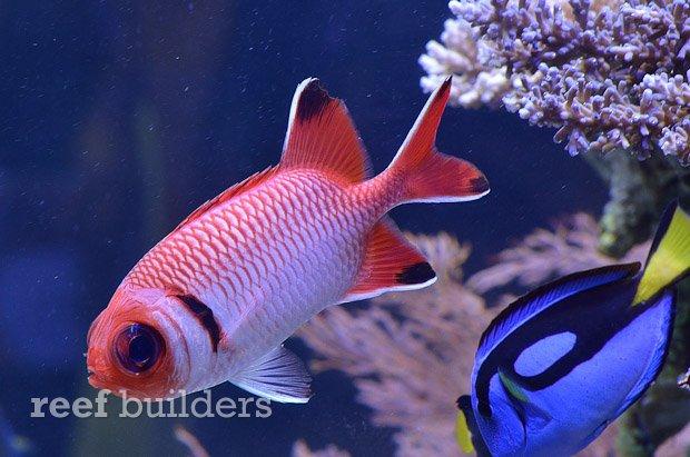 blacktip-soldierfish-1