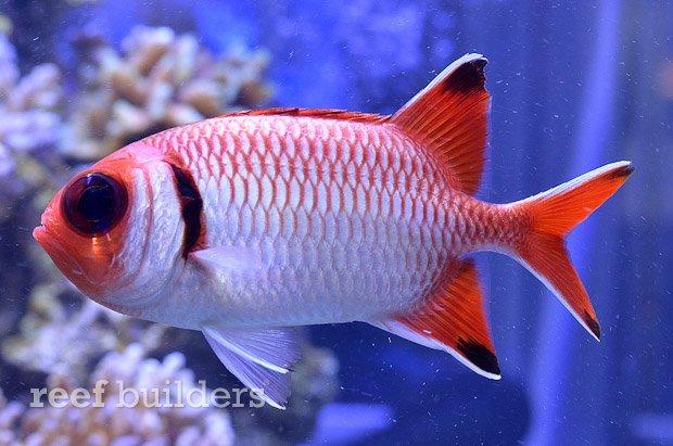 blacktip-soldierfish-2