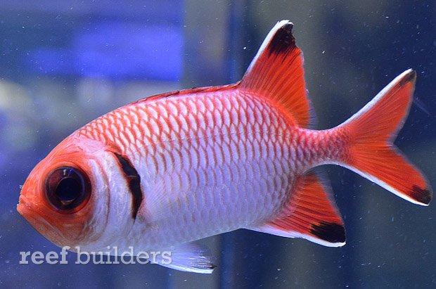 blacktip-soldierfish-3