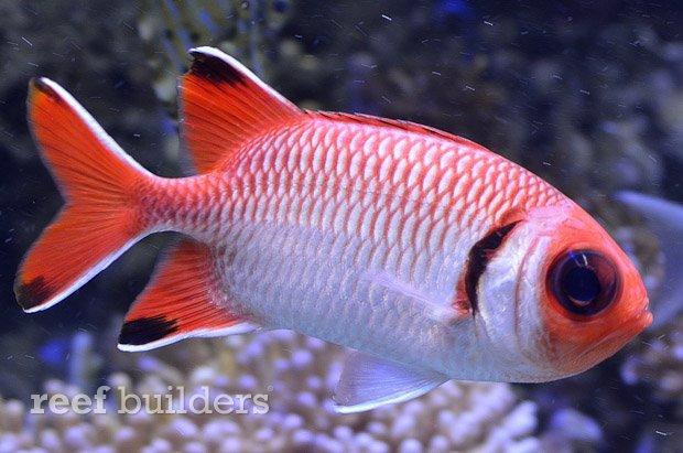 blacktip-soldierfish-4