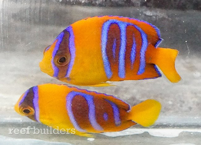 captive-bred-clarion-angelfish-1