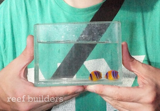 captive-bred-clarion-angelfish-bali