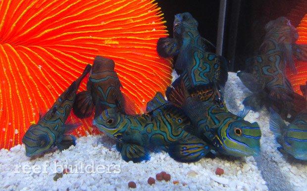 captive-bred-mandarin-gobies-1