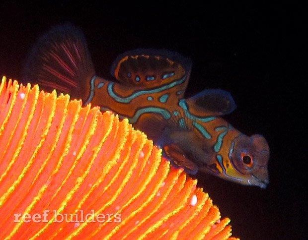 captive-bred-mandarin-gobies-3