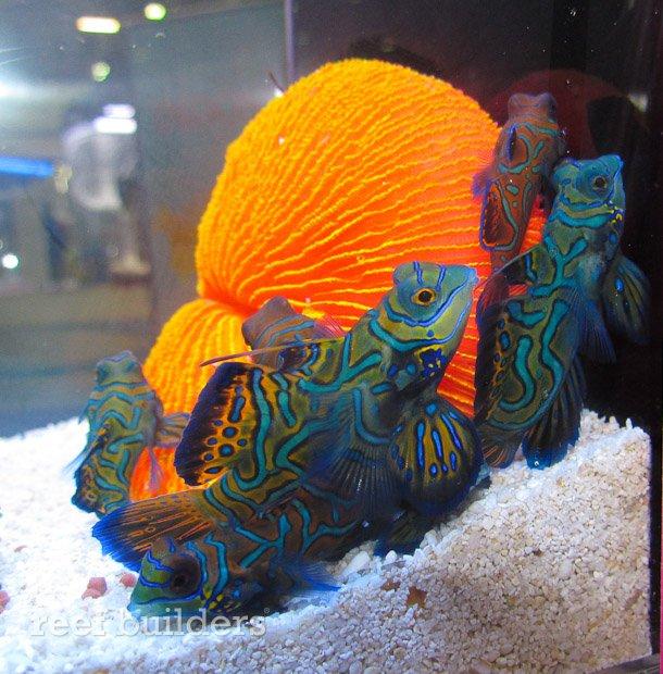 captive-bred-mandarin-gobies-5