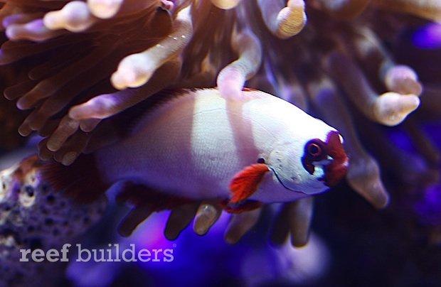 gold-nuget-maroon-clownfish