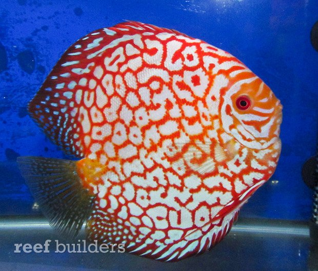 red-checkerboard-discus-1