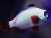gold-nuget-maroon-clownfish-2_0