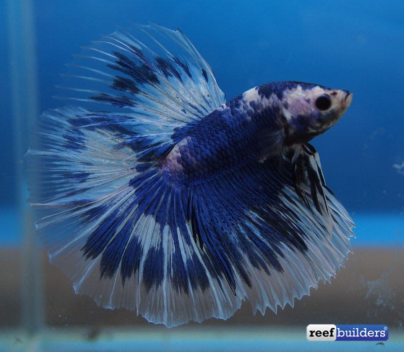 The best of the aquarama 2015 international betta competition for How much are betta fish