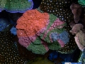 rainbow-chalice-echinophyllia-reef-aquarium-display-aquatic-art-9