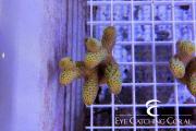 australian aquacultured acro-1