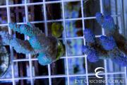 australian aquacultured acro-6
