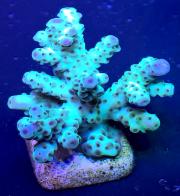 australian aquacultured acro sarmentosa-8