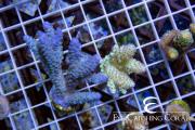 australian aquacultured acro