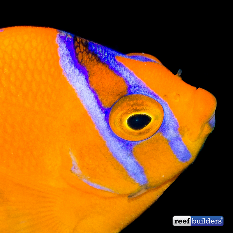 clarion-angelfish-captive-bred-1