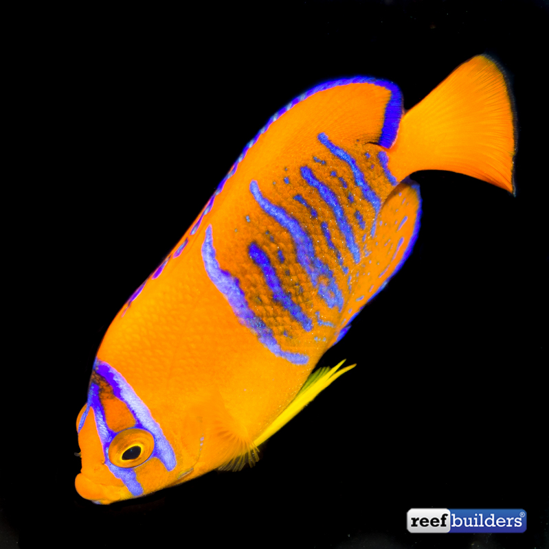 clarion-angelfish-captive-bred-2