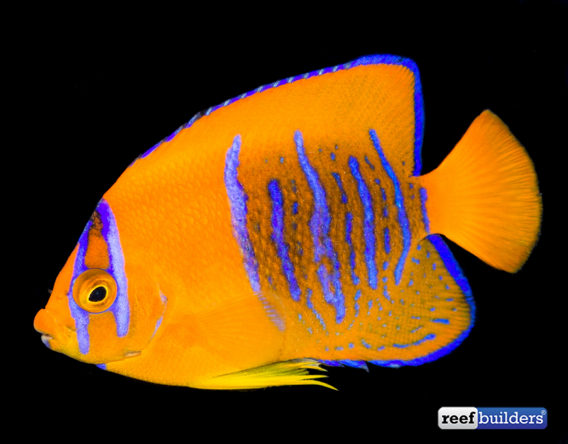 clarion-angelfish-captive-bred-3