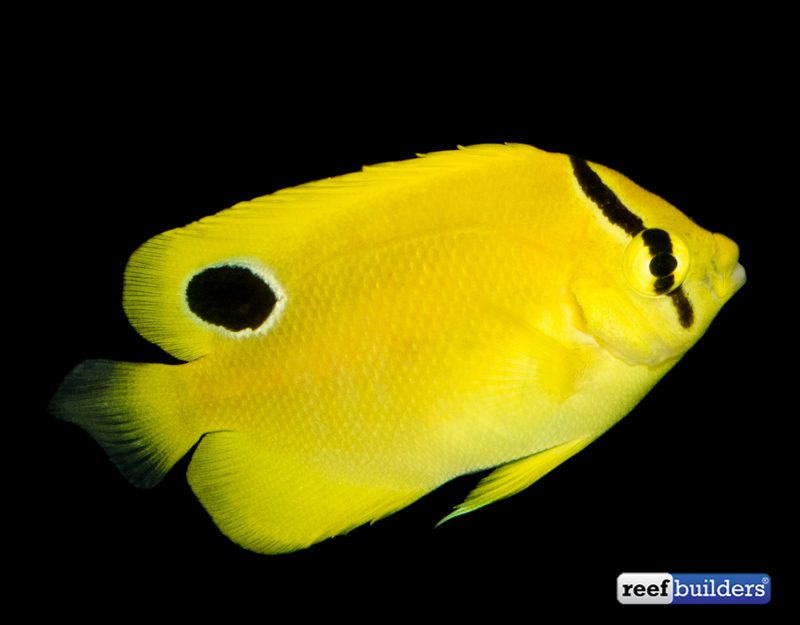 flagfin-goldflake-hybrid-angelfish-captive-bred-1