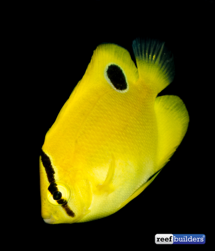 flagfin-goldflake-hybrid-angelfish-captive-bred-2