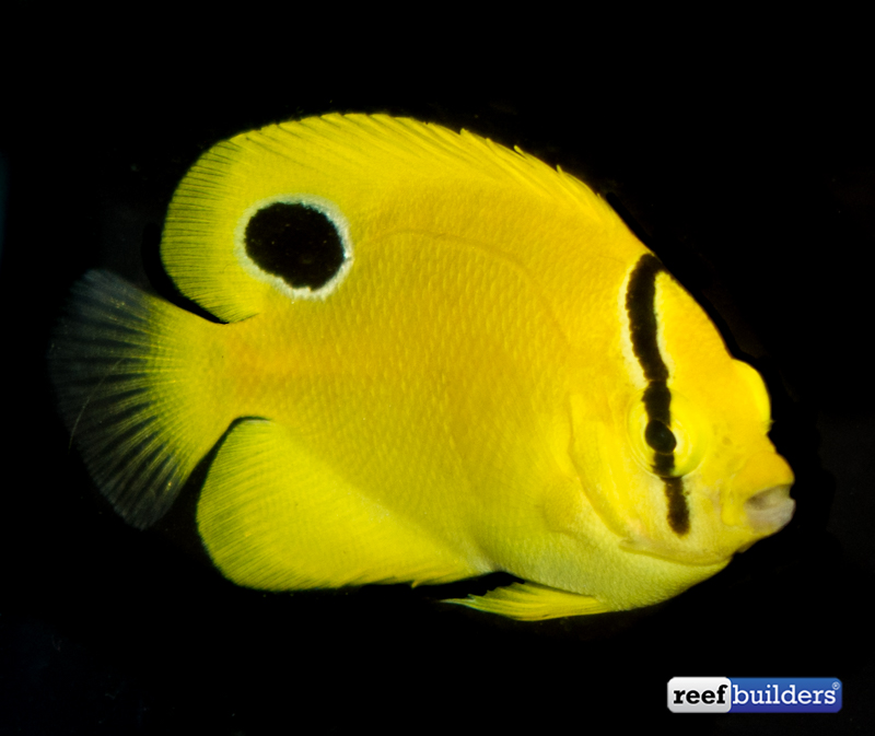 flagfin-goldflake-hybrid-angelfish-captive-bred-3