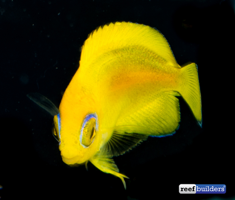 lemonpeel-angelfish-captive-bred-1